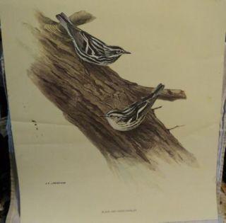 Print Black White Warbler Bird J F Fenwick Lansdowne