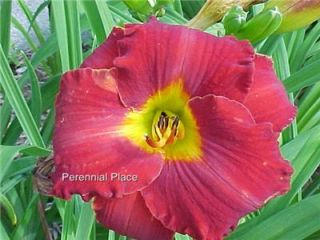 DAYLILY Kents Favorite Two Bright Red 2 Plants