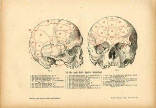C1900 Human Skull Anatomy Antique Litho Print H Kraemer