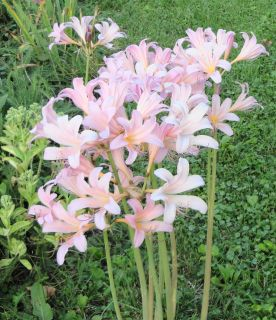 Live Plants ✿ Magic Lily ✿ Stunning and Unique ✿ Combined