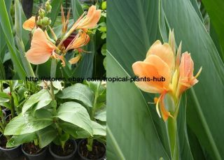 Bulbs Canna Lily Peach Green Leaf Tropical Plant