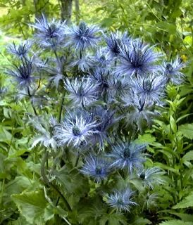 Eryngium Blue Star Alpine Sea Holly Plant Flower Bulb Tuber Bareroot