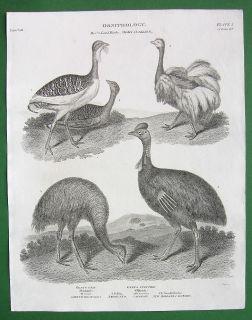 Birds Ostrich Bustard Casowary Antique Print A Rees