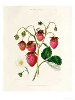 The Roseberry Strawberry, Engraved by Watte, Pub. by Thomas Kelly, London 1830 Giclee Print by Edwin Dalton Smith