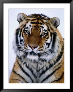 A Siberian tiger at the Minnesota Zoological Garden Pre made Frame