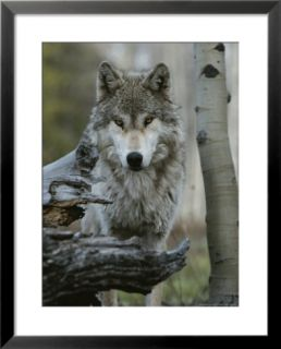Beautiful Portrait of a Gray Wolf, Canis Lupus Pre made Frame