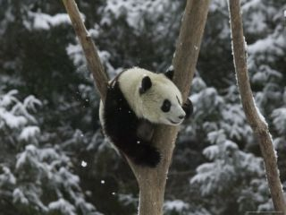 Panda Cub Playing on Tree in Snow, Wolong, Sichuan, China Photographic Print by Keren Su