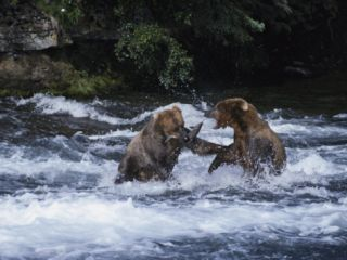 A Pair of Grizzly Bears (Ursus Arctos Horribilis) Fight as They Catch Fish in the Brooks River Photographic Print by Paul Nicklen