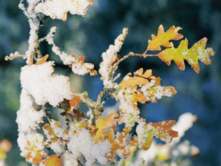Gambel Oak (Quercus Gambelli), Fall Color Leaves with Snow, Coconino National Forest, Arizona Photographic Print by Rich Reid
