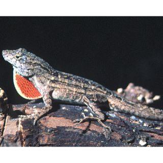 Bahaman Anole   Reptile   Live Pet