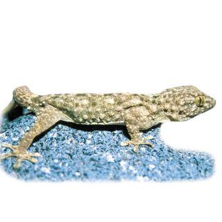 Crocodile Gecko   Reptile   Live Pet