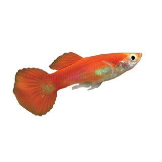 Aquarium fish live fish for sale for Live freshwater fish for sale online