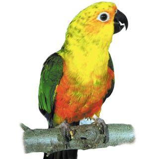 Jenday Conure   Bird   Live Pet