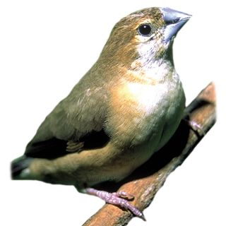 Silver Bill Finch   Bird   Live Pet