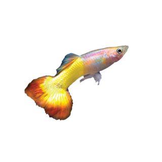 Tequila Sunrise Delta Guppy   Tropical   Fish