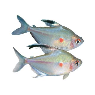 Tropical fish information on all colorful tropical for Fish for sale online