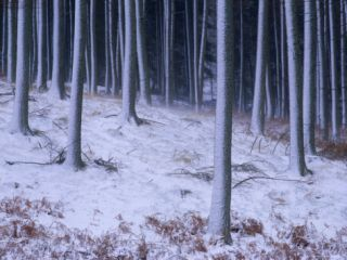 Tree Trunks Covered in Snow in Cumbria, England Photographic Print by Michael Busselle