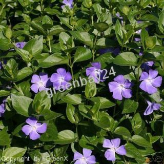 Vinca major Großblättriges Immergrün Bodendecker 20 cm