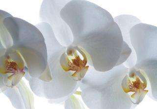 Tapete Blume große Orchidee weiß Floral Foto 360 cm x 270 cm