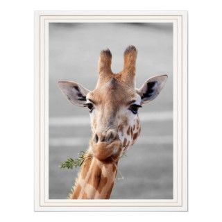 An endangered West Africa Giraffe (aka Nigerian Giraffe).