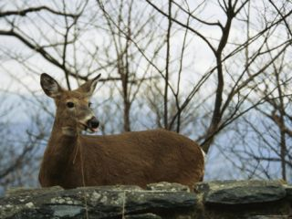 A White Tailed Deer Standing Behind a Rock Wall Photographic Print by Raymond Gehman