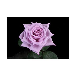 100 Stems 19.7 inch (50 cm) Lavender Roses