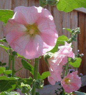No. 111 Cottage Garden Pink 50 Hollyhock Flower Seeds Plus