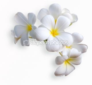 Frangipani tropical flowers from deciduous tree, plumeria  Stock