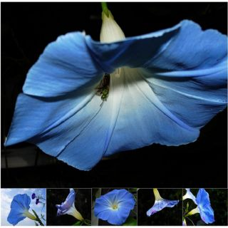 Miette Michie Morning Glory Nature Photograph Note Cards (Pack of 6