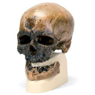 Anthropologischer Schädel   Cro Magnon Drogerie